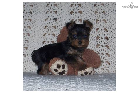 12 pound yorkie terrier yorkie puppy for sale near oklahoma city oklahoma d686f967 d301