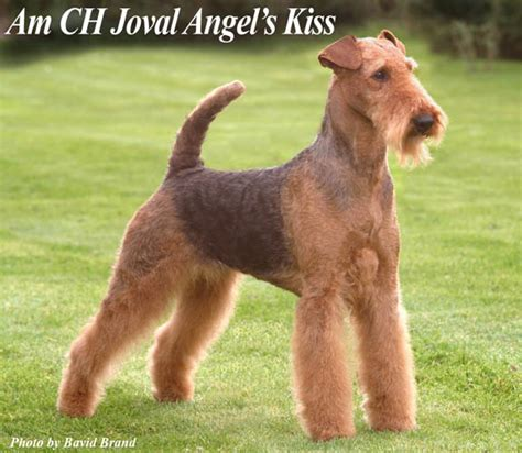 airedale cut groomers bbs airedale