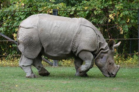 File:Indian Rhino (Rhinoceros unicornis)1 - Relic38.jpg ...