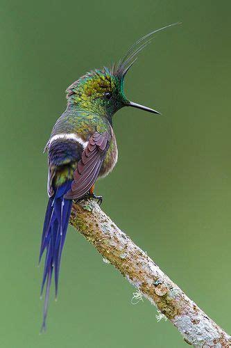 78 ideas about hummingbirds on pinterest birds humming