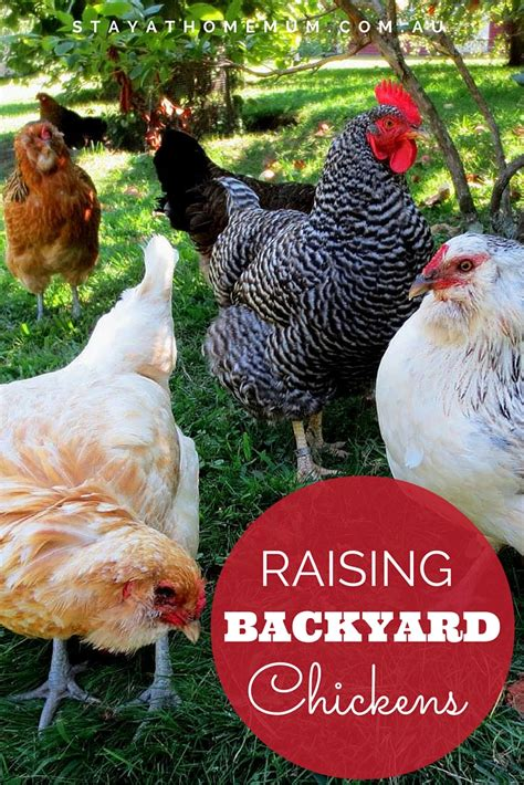 raise chickens in backyard keeping backyard chickens stay at home mum