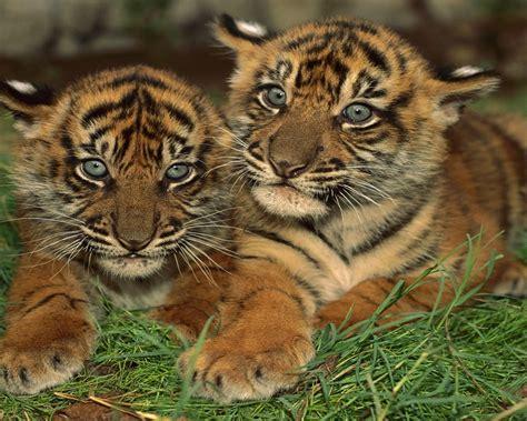 sumatran tiger cubs  baby tigers wallpaperscom