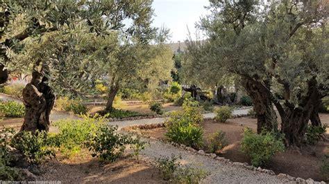 garten gethsemane gethsemane hier betete jesus vor seiner kreuzigung