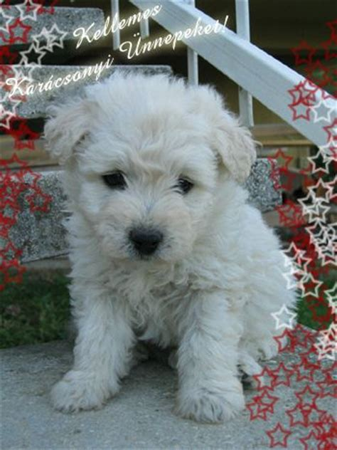pumi puppies 1000 images about pumi on sheep dogs guard and image