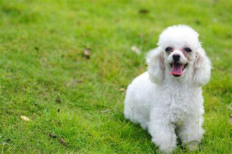 small poodle lifespan poodle names wag