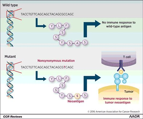 resistor tcr definition genomic approaches to understanding response and resistance to immunotherapy clinical cancer