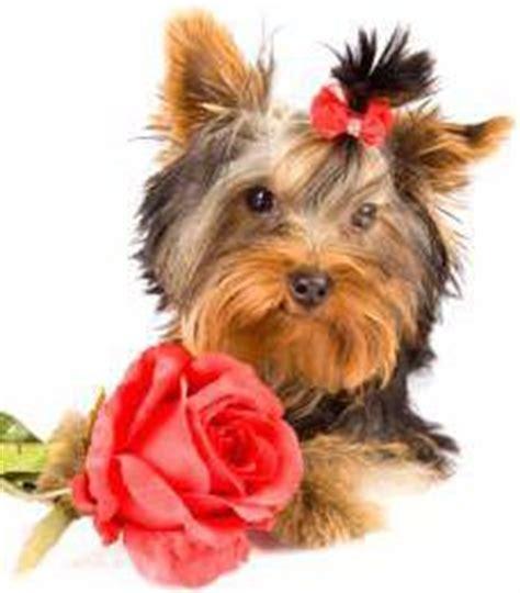 yorkie ear infection symptoms yorkie ears terrier information center