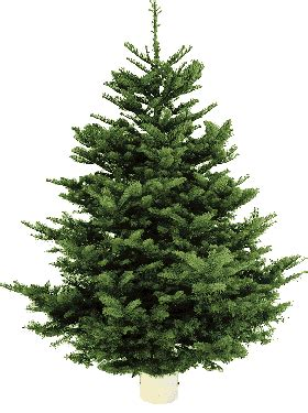 costco limited time 7 8 ft noble fir christmas trees 39