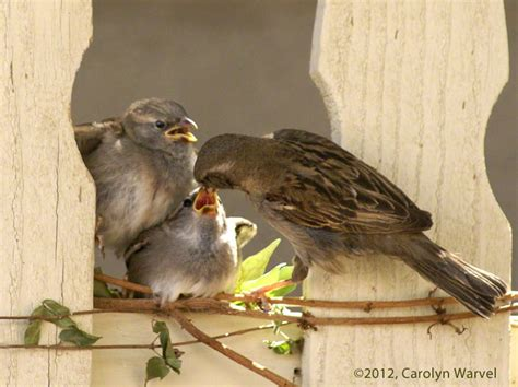 feeding finches backyard mother feeding baby birds in my backyard baby birds