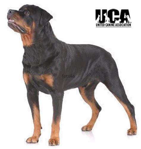 rottweiler markings rottweiler breed information and pictures united canine association
