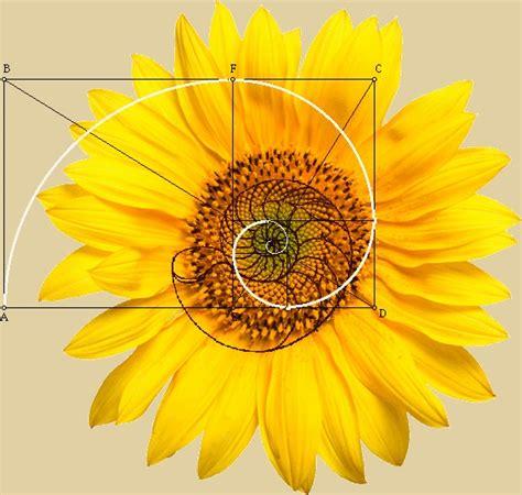 sunflower fibonacci sequence golden section phi fibonacci spiral yellow sunflower get your mind