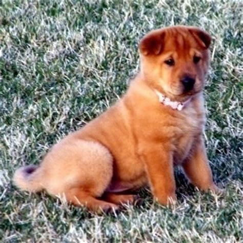 shar pei golden retriever mix golden pei breed information and pictures