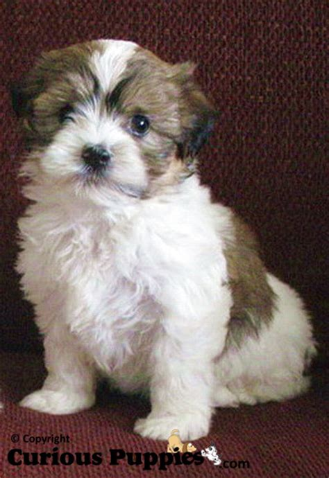 shorkie puppies for sale common crosses of shih tzu puppies for sale puppies for sale dogs for sale in