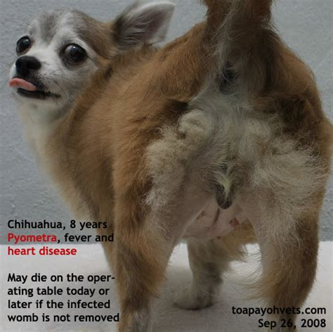 pyometra symptoms in dogs failure breeds picture