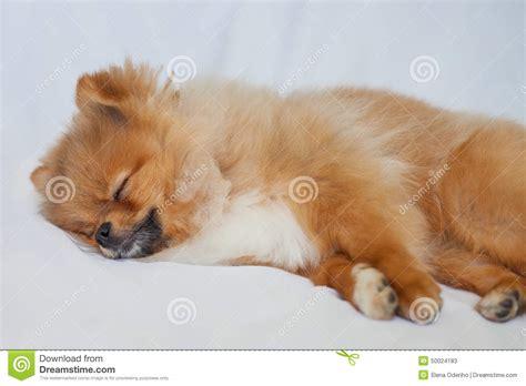 sleeping pomeranian pomeranian puppy sleeping on a white backgroundlies stock photo image 50024183