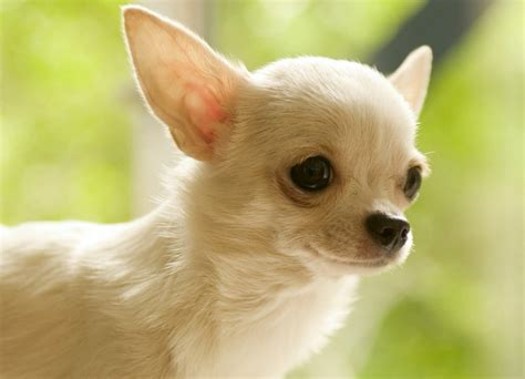 how many puppies does a chihuahua chihuahua photos and wallpapers the beautiful chihuahua pictures