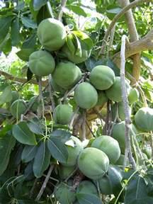 Sapota Fruit Tree - forum suggestions white sapote trees in melbourne