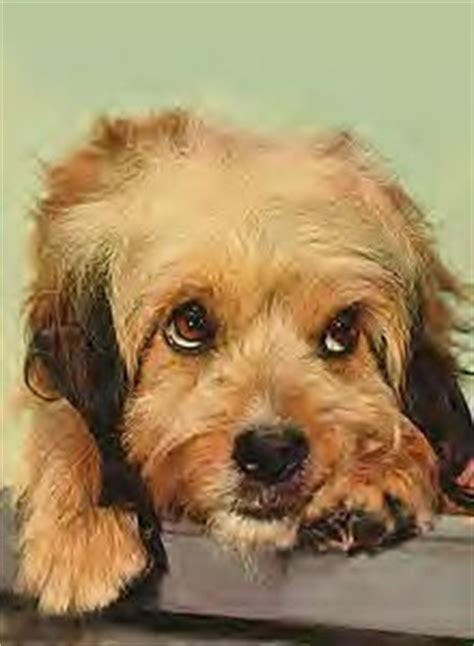 what does a setter dog look like what does a benji dog look like