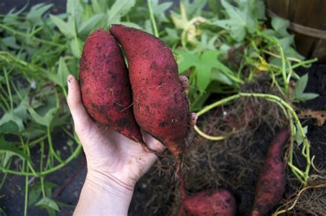 grow your own sweet potatoes outlaw garden grow your own sweet potatoes outlaw garden