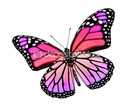 imagenes mariposas violetas mariposa violeta rosa aislado en blanco imagen de stock
