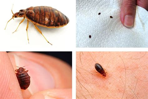 signs of bed bugs on skin the truth about bed bugs essential facts everyone should know sit n sleep