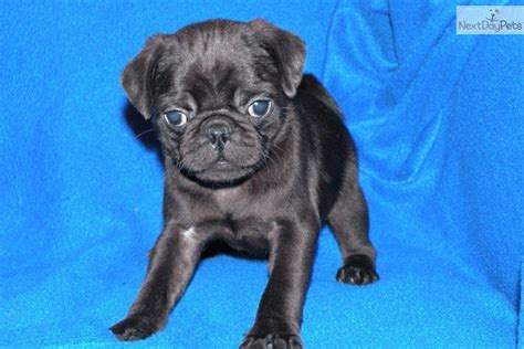 pugs for sale in michigan pug puppy for sale near battle creek michigan e3fe4f0e 9d81