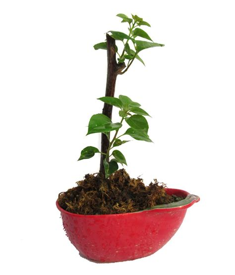 Instant Bonsai Just Remove Genes by A Bonsai Bougainvillea Small Bonsai Plant Buy A Bonsai