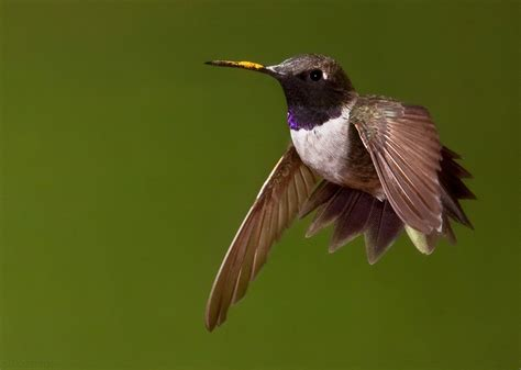 black chinned hummingbird facts habitat life cycle baby