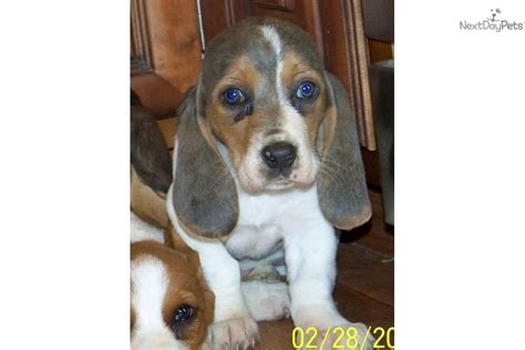 Basset Hound for sale for $400, near Jonesboro, Arkansas