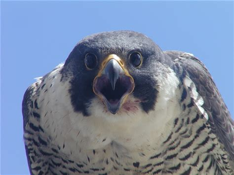 young peregrine falcons fledge cincy hikes