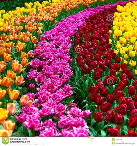 garden flowers a z tulip flowers garden in background or pattern stock