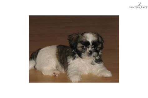 shih tzu puppies for sale in montana shih tzu puppy for sale near kalispell montana 37c22a01 9a61
