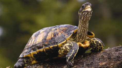 turtle with a neck wallpapers and images wallpapers