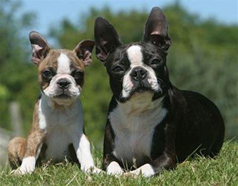 boston terrier puppies breeders 50 best boston terrier pictures