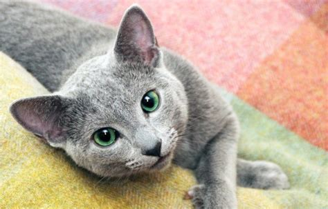 blue cats russian blue cat