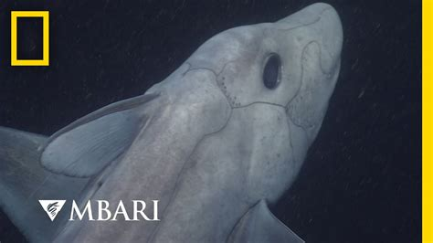 film ghost shark youtube ghost shark caught on camera for the first time national
