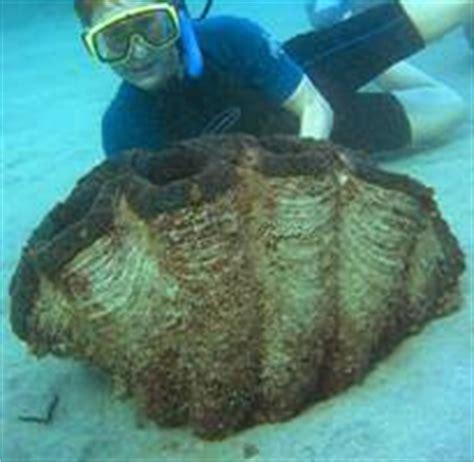 Kerang Kima mukhlas aquaculture kerang kima si kerang raksasa