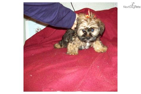 yorkie breeders pittsburgh pa shorkie shih tzu puppy for sale near pittsburgh pennsylvania 58115ad5 6631