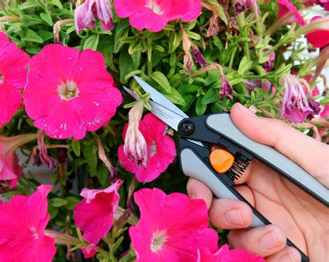 How to Keep Your Plants in Bloom with Deadheading   The