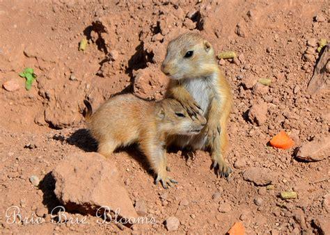 baby prairie dogs baby prairie pet www imgkid the image kid has it