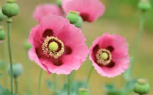 what color are poppies fondo de pantalla poppies flowers pink color hd