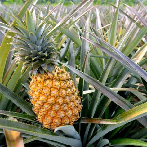 Bibit Nanas jual bibit tanaman nanas madu palembang di lapak rizal