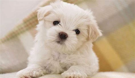Does A Bichon Frise Shed by Bichon Frise Puppy Showing Puppies