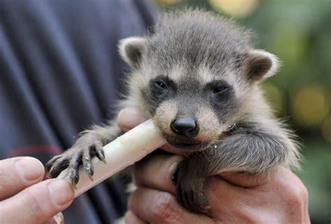 chimenea y recien nacido mapaches rescatados de una chimenea