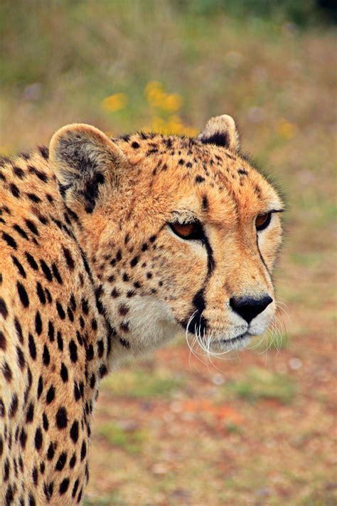 beautiful cheetah  pexels  stock