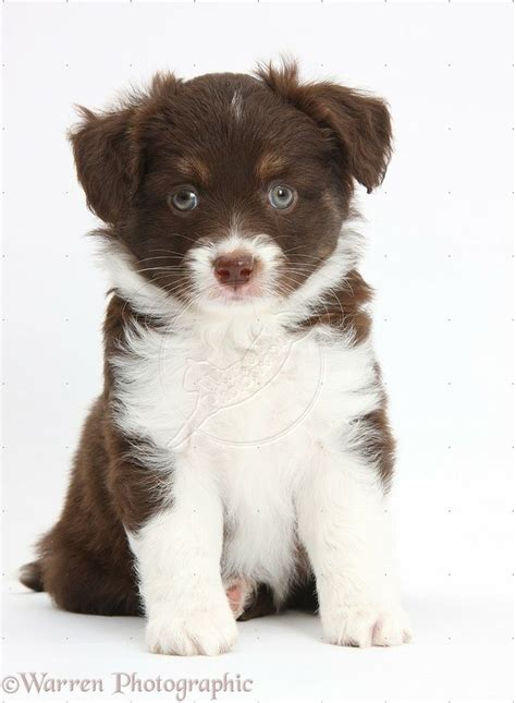 mini american shepherd puppies best 25 miniature american shepherd ideas on american shepherd miniature