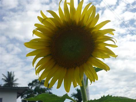 wallpaper bunga lingkaran dalam lingkaran ini tingginya bunga matahari ini