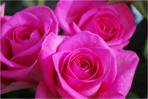 imagenes de flores brillantes imagenes bonitas de rosas brillantes archivos imagenes