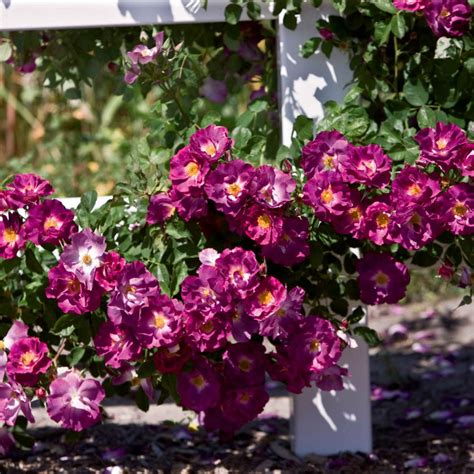 spring hill nurseries stormy weather climbing rose