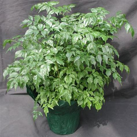 china doll house plant china doll house plant 28 images radermachera junglekey fr image china doll plant
